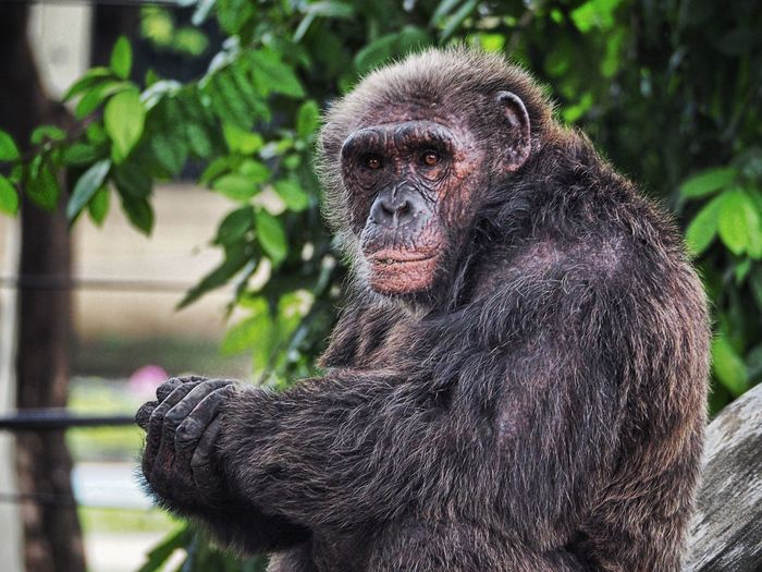Chimpanzee Animal Themes Chimpanzee Monkey Animal ZooLife Zoo
