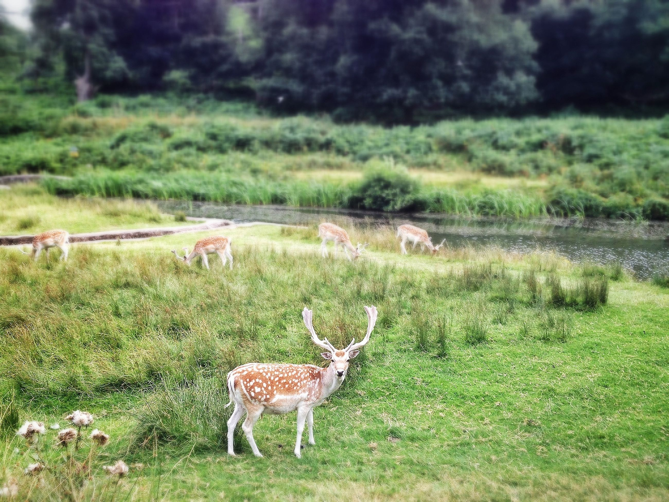 animal themes, grass, animals in the wild, wildlife, field, grassy, green color, nature, landscape, mammal, deer, grazing, standing, beauty in nature, side view, animal family, herbivorous, day, full length, two animals
