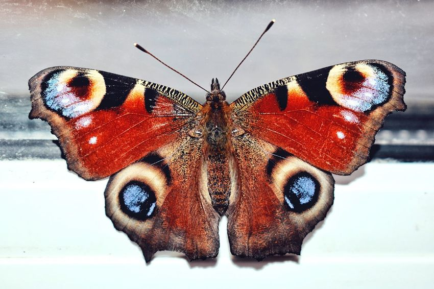 🦋 Butterflies series 🦋 Animal Themes Insect One Animal Close-up Butterfly - Insect No People Animal Wildlife Animal Markings White Background Indoors  Day Nature European Peacock Aglais Io Peacock Butterfly Insects  Butterfly Collection Butterfly European Peacock Butterfly