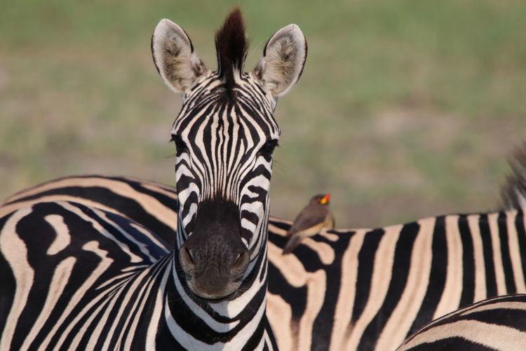 View of zebra