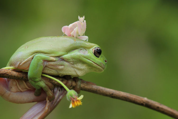 Amphibian Animal Animal Body Part Animal Eye Animal Head  Animal Themes Animal Wildlife Animals In The Wild Branch Close-up Day Focus On Foreground Frog Green Color Mouth Open Nature No People One Animal Outdoors Plant Reptile Tree Vertebrate