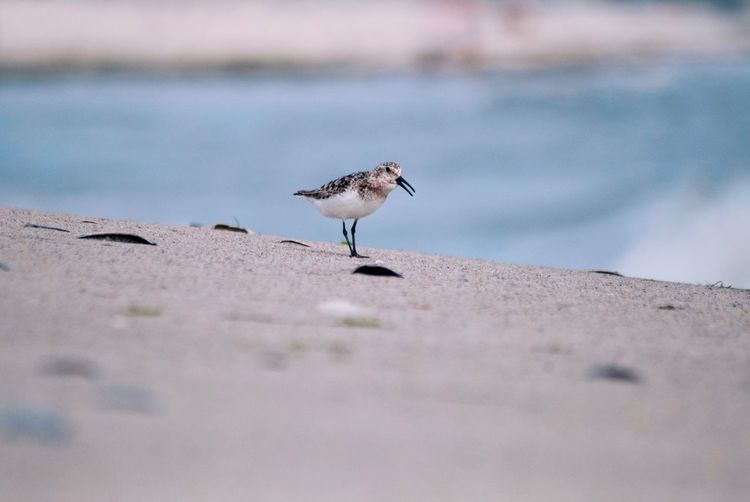 Calidris alba Animals Animals In The Wild Calidris Alba Bird Animal Wildlife Animal Themes Animal Vertebrate Animals In The Wild One Animal Nature Beach Beauty In Nature Sea Water