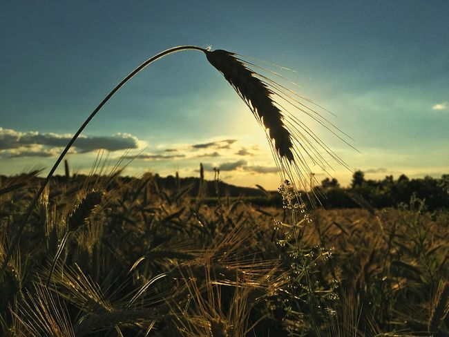 Growth Crop  Nature Field Plant Agriculture Cereal Plant Rural Scene Farm No People Tranquility Sky Tranquil Scene Ear Of Wheat Beauty In Nature Wheat Outdoors Focus On Foreground Landscape Scenics