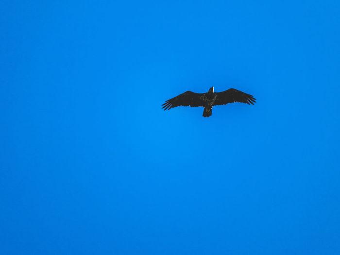 Eagle Eagle Bird Of Prey Bird Spread Wings Flying Blue Clear Sky Full Length Animal Themes Sky Eagle - Bird