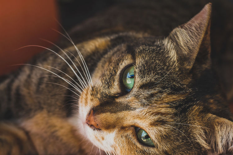 Close-up portrait of cat lying down