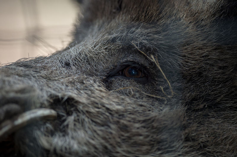 Close-up of wild boar looking away
