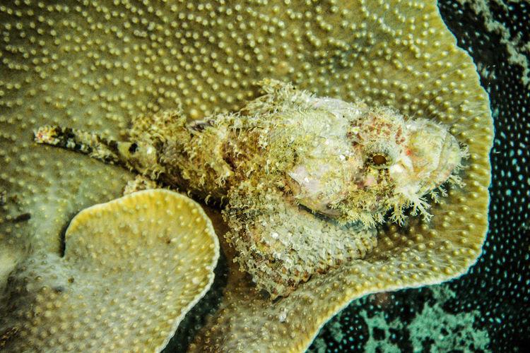 scorpionnfish