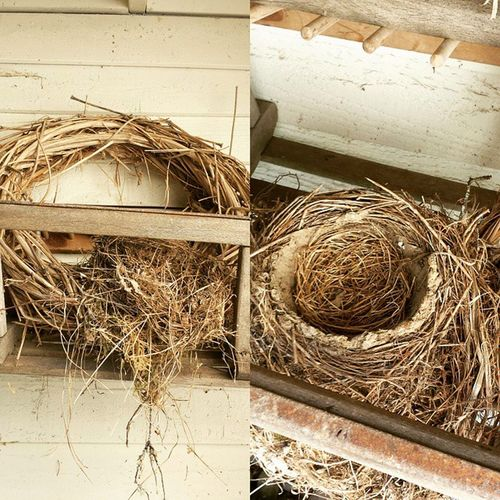 Birds nest next to the house. Two families of robins have been in here this year. I took a quick pic before another one moves in. Robinsnest Birds PNW