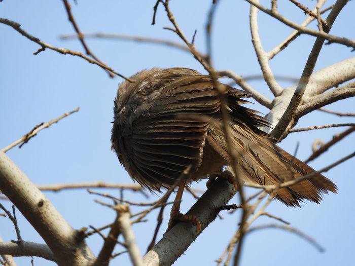 Bird Wildlife Forest Tree Branch Bare Tree Babbler Jungle Babbler Branch Close-up Sky Tail Animal Wing