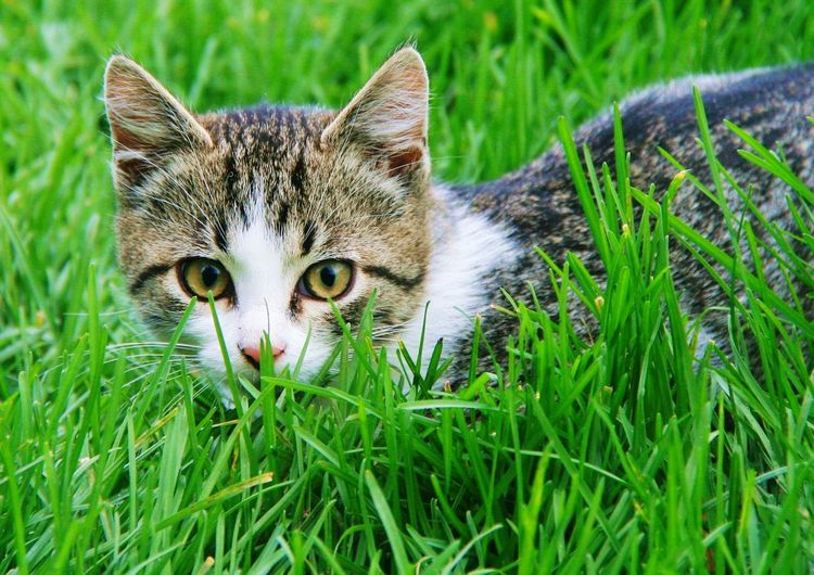 Little hunter Portrait Pets Feline Looking At Camera Domestic Cat Grass Close-up Green Color Kitten Cat Young Animal