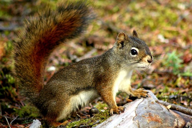 Squirrel Rodent