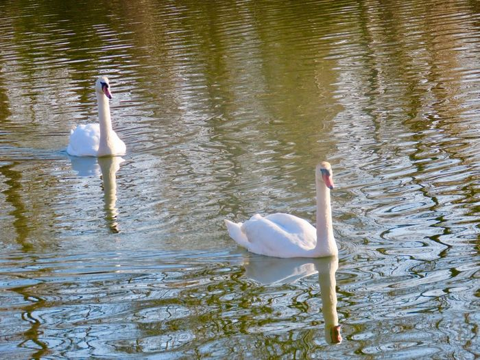 Swans swimming in the lake water reflections and ripples golden hour birds of EyeEm beauty in nature birdwatching outdoors Animal Wildlife Animal Themes Two Animals Mute Swan No People