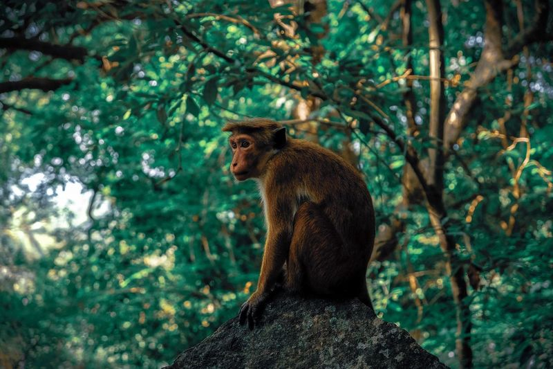 Monkey looking away while sitting on rock against trees in forest
