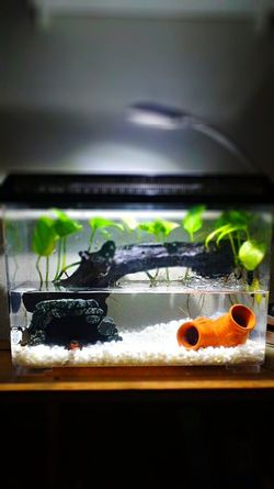 Amphibian Newt アカハライモリ Japanese Fire Belly Newt 両生類