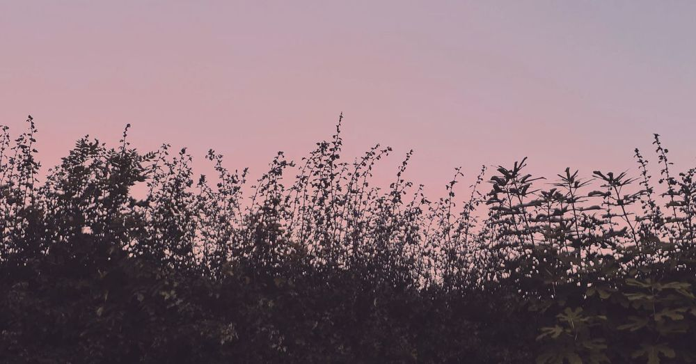 Low angle view of pink flowering trees against sky during sunset