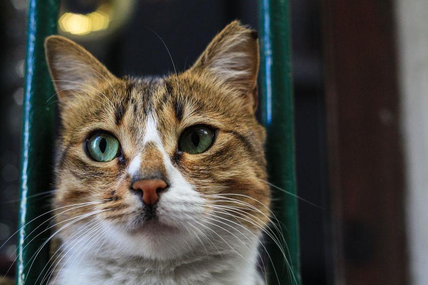 Green Alertness Cat, Green Eyes, Eyes, Beautiful, Cute Curiosity Home Relaxing Stray Cat, Street Cat, Zoology