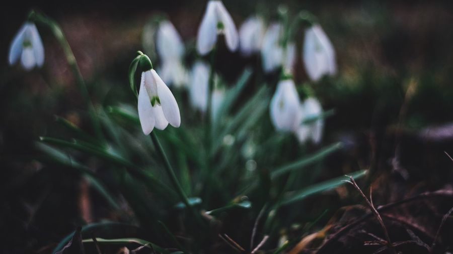 Flower Growth Nature Freshness Beauty In Nature Plant Fragility EyeEm Best Shots Fujifilm_xseries Petal Snowdrop Flower Head Close-up Blooming Day No People Outdoors Crocus