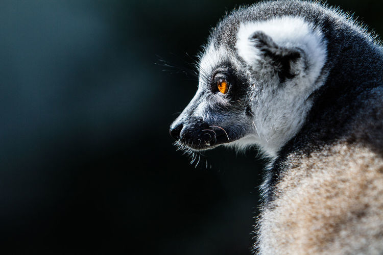 Portrait of a katta Lonely Isolated With Black Background Katta Lemur Lemur Catta Monkey