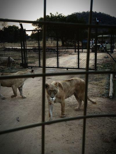 Animal Themes Domestic Animals Big Cats Lions Safari First Eyeem Photo