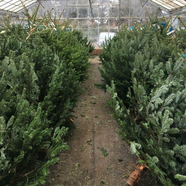 Christmas tree nursery - picking Christmas Trees Aisle Choosing Christmas Christmas Tree Cultivate Decorate Festive Fir Garden Centre Green Greenhouse Growth Indoors  Leaves Nature Needles No People Nordic Nursery Plant Nursery Spruce Tradition Tree
