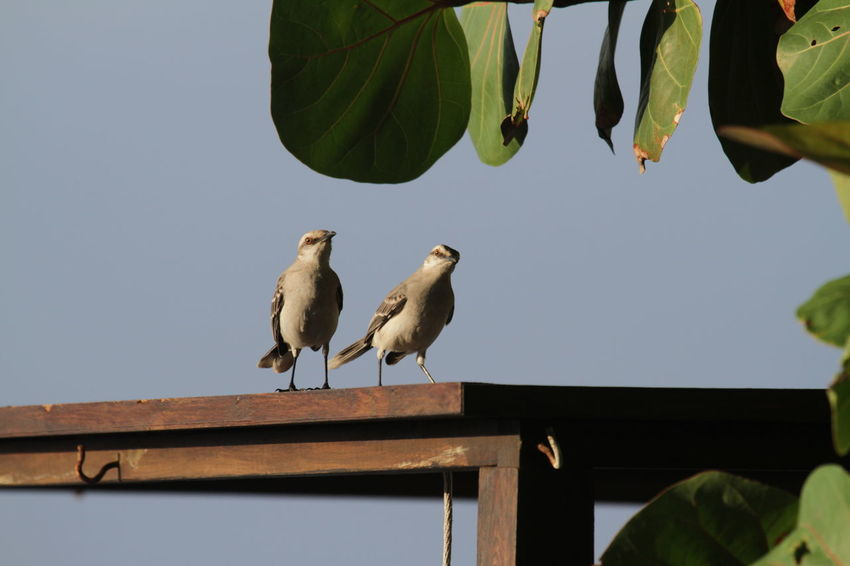 Animal Themes Animal Wildlife Animals In The Wild Bird Caribbean Couple Day Nature Outdoors Two Birds Wooden Railing
