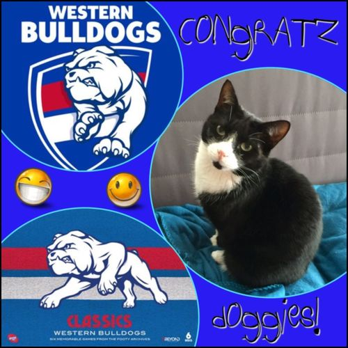 Congratz Doggies on your win! even Sooty's proud! 😸⚪️🔴🔵😸 Grandfinal GrandFinalDay Footy Godoggies Westernbulldogs Cat Cutenessoverload 🏉💜🐱