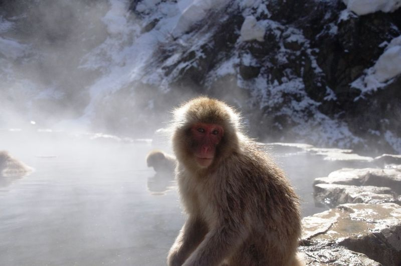 Portrait Of Japanese Macaque At Jigokudani Monkey Park