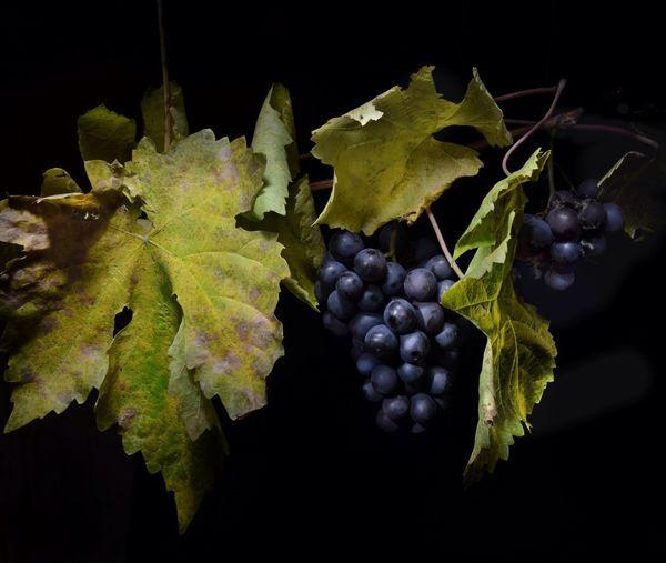 Grapes in vineyard at night