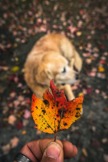 Having fun in autumn with the dog Human Hand Hand Human Body Part Plant Part Leaf Autumn Focus On Foreground Outdoors Maple Leaf Leaves Dog Dog Lover Fashion Fall Colors Fall Collection Close-up Colorful Leaves Colorful Leaf Colorful Leaves In Autumn