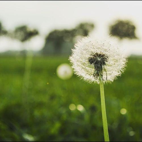 Dandelion Sun Grass Field Taking Photos Ospel Netherlands Beautiful Nature Enjoying Life