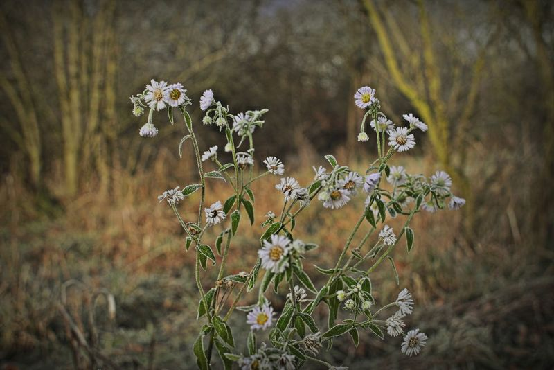 Beautiful Nature Blooming Blossom Botany Branch Field Fieldscape Flower Flower Head Focus On Foreground Fragility Frosty Frosty Flower Frosty Mornings Green Growing Growth Nature No People Plant Trees White Flower Winter Wintertime