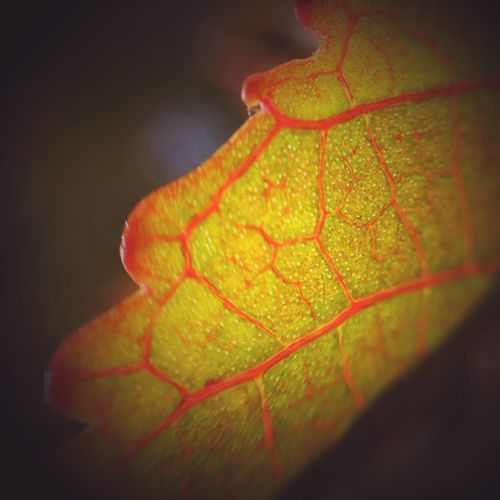 Vignette Leaf Leafs Leaf 🍂 Leaf Vein Leafporn IPS2016Nature Delicate Beauty Delicate Closeup Close Up Close-up Macro_collection Macro Soft Macro Photography Macro Beauty Beautiful IPS2016Composition Showcase: February Detail Into The Light Deceptively Simple