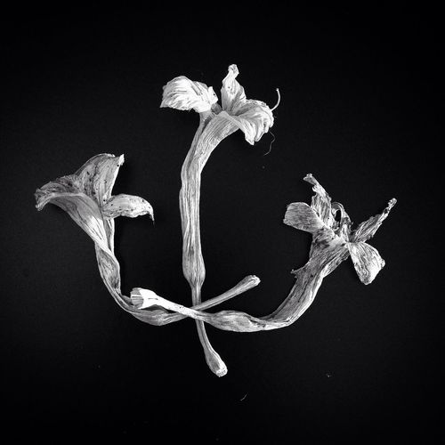 Black & White version of these dried up Lilies I found in the garden. Still Life