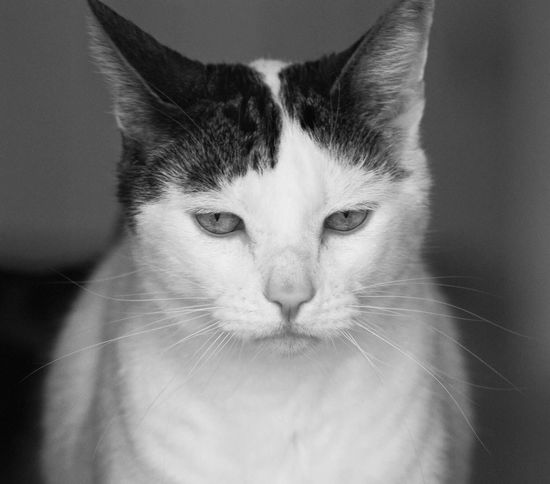Domestic Cat One Animal Animal Themes Pets Mammal Feline Domestic Animals Close-up Whisker Indoors  Portrait Looking At Camera No People Day