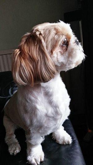 Shih Tzu Interest Shih Tzu Prince Dog Poise Pets Dog Domestic Animals Animal One Animal Cute Indoors  EyeEmNewHere