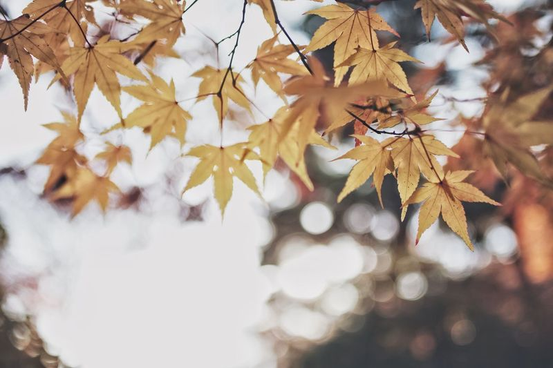 Snap Bokeh Vscocam Nature Streetphotography Light And Shadow Japan Autumn Leaf Plant Part Change Tree Maple Leaf Leaves