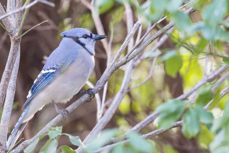 Close-up of blue jay perching on branch