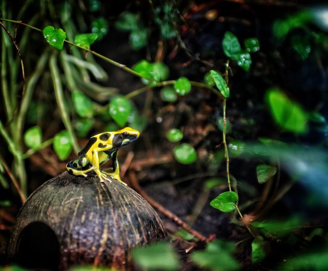 Frog Poison Frog Close-up Focus On Foreground No People Plant Animal Wildlife Animals In The Wild Nature Animal One Animal Beauty In Nature