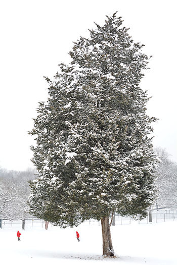 Snow Winter Tree Cold Temperature Nature Sky Beauty In Nature White Color Frozen Scenics - Nature Outdoors Coniferous Tree Snowcapped Mountain Pine Tree Field Blackandwhite Black And White