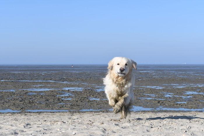 Golden Golden Retriever Running Watt Animal Themes Beach Beach Fun Beachphotography Clear Sky Day Dog Dogs At The Beach Domestic Animals Horizon Over Water No People One Animal Outdoors Pets Retriever Sand Sea Seaside Sky Water Wattenmeer