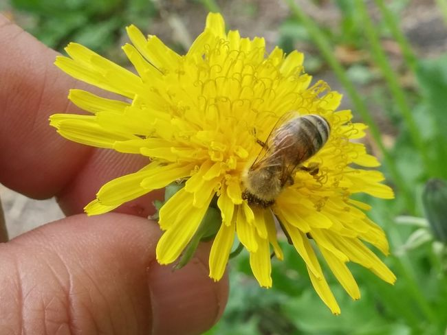 🌞😂😂😂Well youve been introduced to Brangwen 😮😁😂😂🐝but as as you can clearly see...shes a lil bit shy..😊but super adorable, check out that fuzzy girl😮😂😂😁🐝 Human Hand Human Body Part Close-up One Person Flower Insect Yellow Lifestyles Fingernail Outdoors Real People Fragility Nature Dandelion 2017 Welcome! 2017 Summer New Zealand Natural Bee 🐝 Nz Bees Flower Head Good Morning! Blooming Focus On Foreground Bees And Dandelions