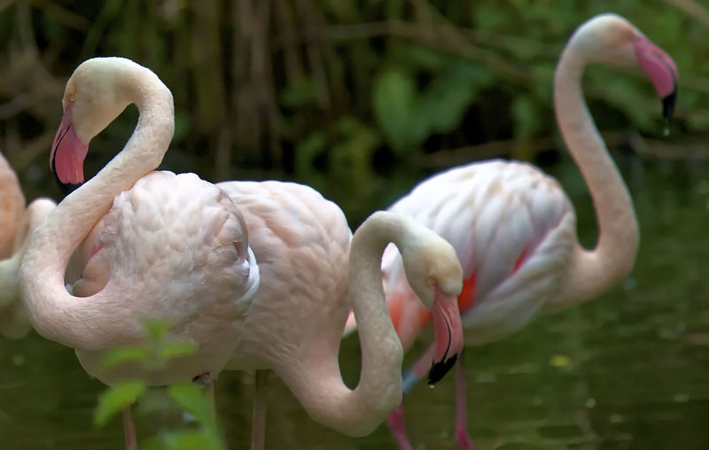 Pink and Dandy Bird Photography Birds Of EyeEm  Animal Themes Animal Wildlife Beak Beauty In Nature Bird Birds_collection Close-up Flamingo Nature No People Outdoors Pink Color Water Water Bird