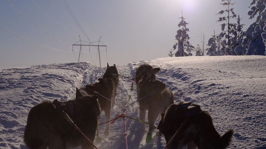 Dog Sledding in Finnish Lapland Snow Dogsledding Dog Water Day Real People Lifestyles Sunlight Electricity  Leisure Activity Outdoors