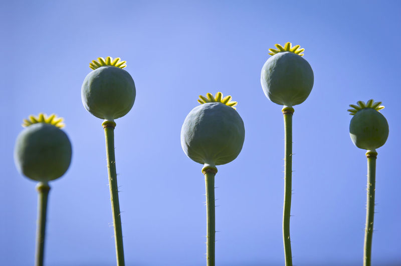 Low Angle View Of Poppy Buds  Against Clear Blue Sky