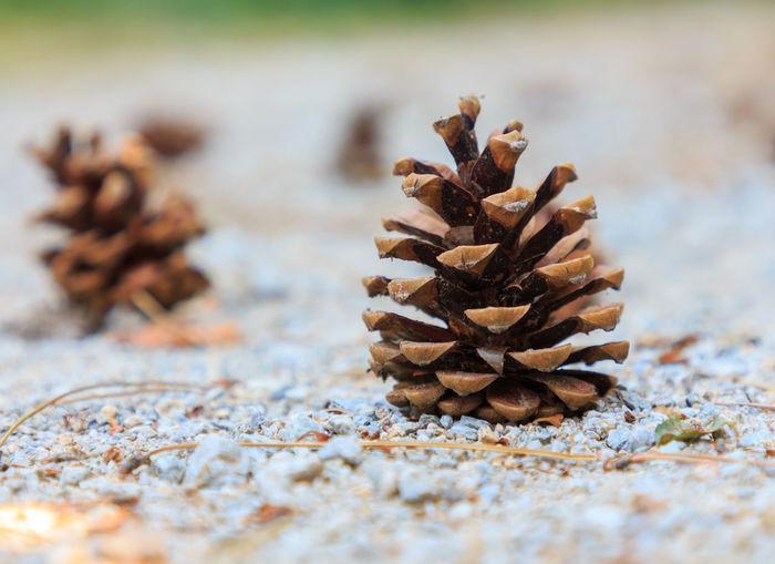 Close-up of pine cones
