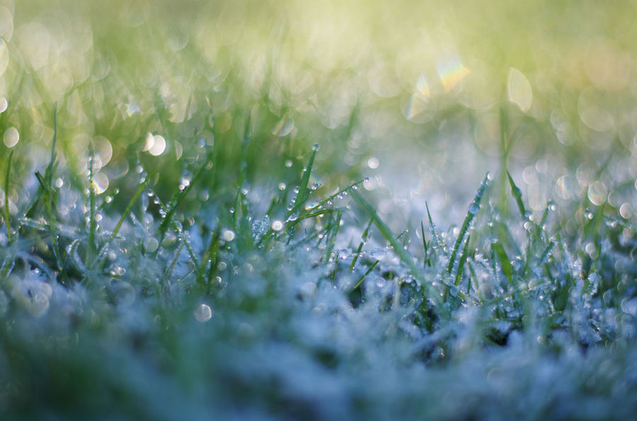 Frosty grass in the morning Cold Weather Crispy Frost Frosty Morning Grass Jack Frost Winter Beauty In Nature Cold Temperature Dew Drops Freshness Frosty Frozen Grass Glistening Glistening Droplet