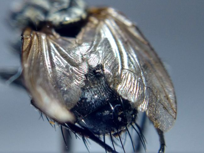 House Fly Fly Bugs Insects  Macro Macrophotography
