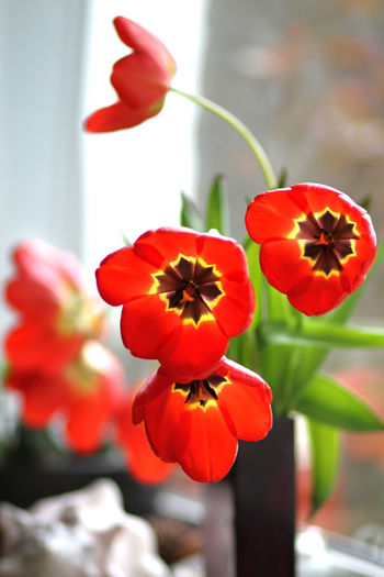 Blooming Bouquet Bukett Bunch Of Flowers Close-up Flower Flower Head Focus On Foreground Indoors  Interior Design Red Red Selective Focus Tulipaner Tulpen Tulpis Vase Window Windowsill