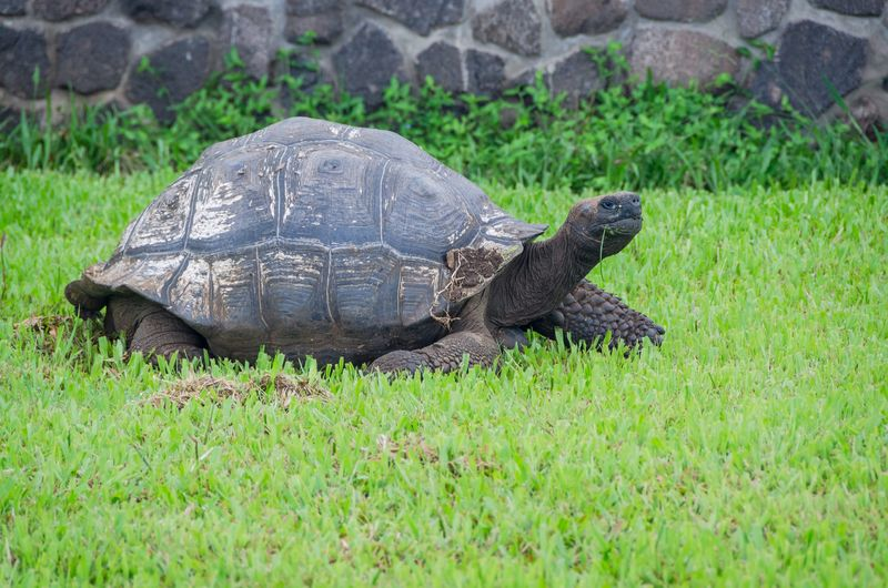 Endangered Species Galapagos Giant Animal Animal Shell Animal Themes Animal Wildlife Animals In The Wild Day Eruption# Evolution  Field Grass Green Color Land Nature No People One Animal Outdoors Plant Reptile Shell Tortoise Tortoise Shell Turtle Vertebrate Volcanic Landscape Wildlife