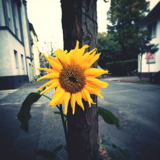 Flower Yellow Outdoors Plant Beauty In Nature Sunflower Autumn Urbangardening
